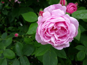 Place of Serenity | Mottisfont rose blessings