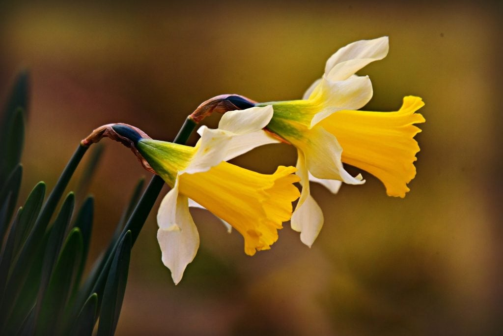 Place of Serenity | daffodil